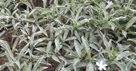 pohon saberna putih jenis tanaman mudah perawatannya