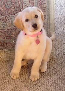 1000+ images about Golden Retriever Labrador Retriever Mix ...