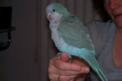 blue quaker parrot blue quaker parrot lost from london ontario grey adpost com classifieds gt canada gt 43039 blue