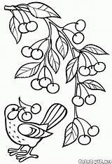 Branch Coloring Tree Apple Cherries Pages sketch template