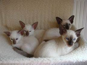 siamese cats for siamese kittens for wolverhton west midlands