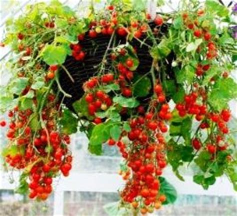 hanging vegetable garden container vegetable gardens growing in pots indoor or