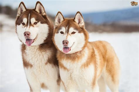 chocolate brown hair color husky rescue sa coat colors of the siberian husky