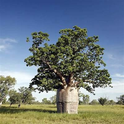 Australian Seed - ADANSONIA gregorii