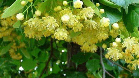 Direcția Silvică Tulcea caută culegători de floare de tei - TLnews - Tulcea NEWS
