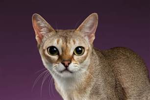 smallest cat breed smallest cat breeds these thieves will your