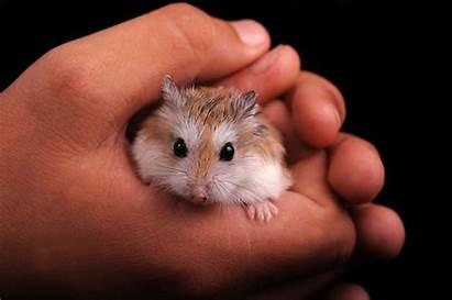 Hamster Contention Transport Hamsters Pet Pets Breeds