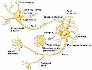 Neuron Diagram Labeled, Neuron, Get Free Image About ...