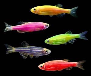 GloFish® Danio Collection – GloFish, LLC