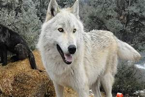 Hybrid Wolf Dog Breed Information with Pictures - Tail and Fur