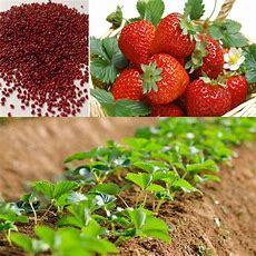 100pcs Red Strawberry Climbing Strawberry Fruit Plant