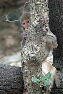 Hiding Monkey Dharamsala 02 Photo