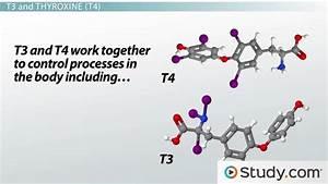 Paling Inspiratif Thyroxine T4 Functions To