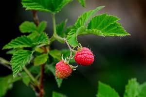 Seeing Red  Raspberries In The Garden