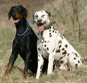 Dalmantian Big Breed Dogs And Doberman | Large Dog Breeds ...