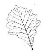 Oak Coloring Leaf Eastern Pages Printable Supercoloring Version sketch template