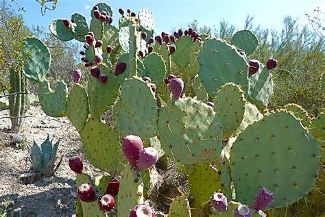 cactus pear prickly pear cactus foodatude
