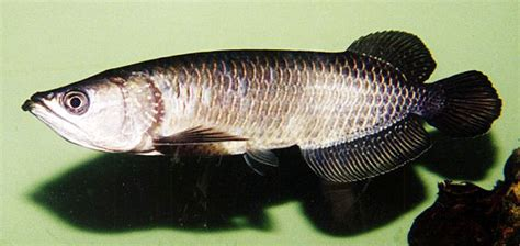 australian sweetwater fish species