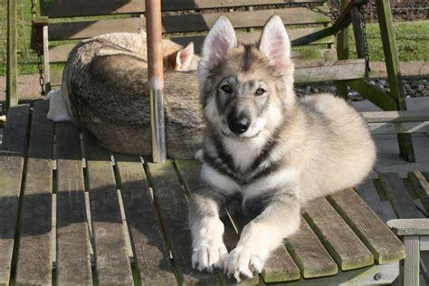northern inuit spockthedogcom