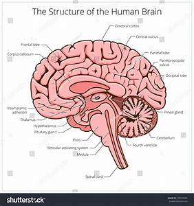 Structure Human Brain Section Schematic Raster Stock