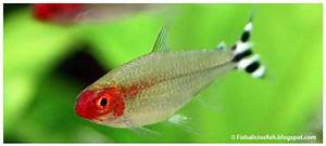 Lebendfutter Für Fische : welche salmler fische sind die sch nsten allmystery ~ Watch28wear.com Haus und Dekorationen