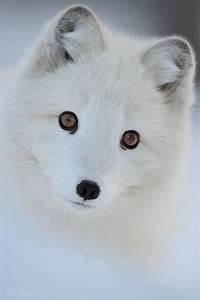 Bébé Loup Blanc : b b loup dans la neige animaux pinterest animaux ~ Farleysfitness.com Idées de Décoration