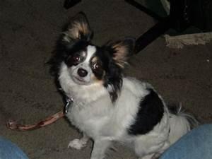 Chion (Papillon Chihuahua Mix) Info, Temperament, Puppies ...