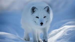 Climate Change Threatens Arctic Fox U2019s Future In Nordic