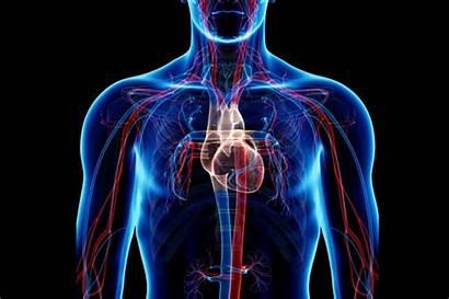 Circulatory System Systemic Pulmonary Circuits