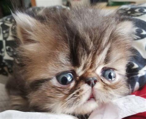 gatti persiani torino gatti persiani animali settembre clasf