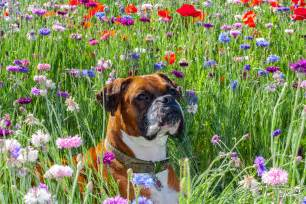 Boxer Dog with Flowers