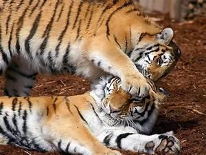 Tigers Playing - Wild Animals Wallpaper (2785497) - Fanpop