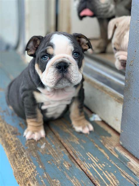 kitra schuneman bulldog puppies  sale born