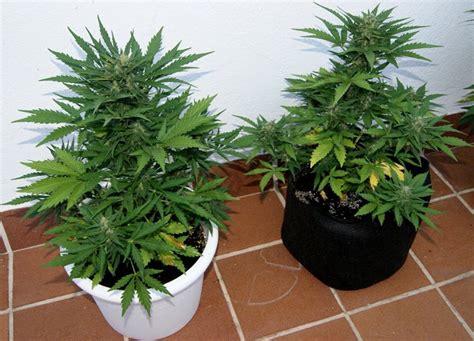 culture cannabis exterieur en pot culture en ext 233 rieur cannabis autoflorissant en smartpot du growshop alchimia