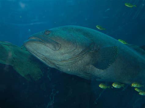 grouper giant epinephelus lanceolatus aquarium atlanta theonlinezoo
