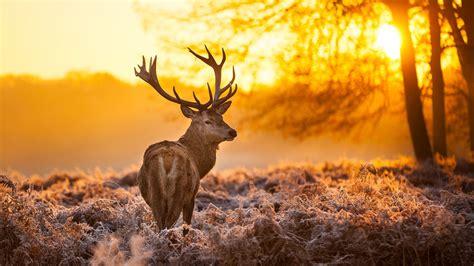 Wallpaper Deer 4k Hd Wallpaper Wild Sun Yellow