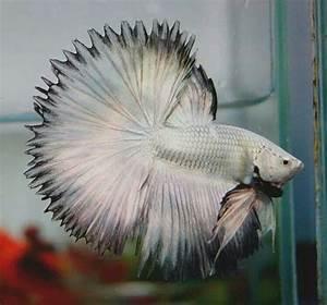 318 best Betta Fish images on Pinterest   Betta, Fish ...