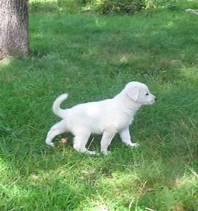 white German shepherd puppies – 7 weeks old (6) | gunther ...