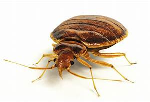 june pest of the month bed bugs atlanta pest control With bed bug but