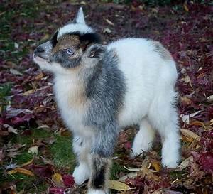 Miniature Pygmy Goats | Nigerian Dwarf goat buckling ...