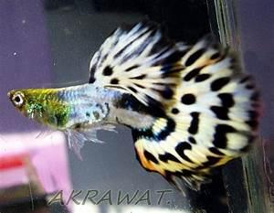 Süßwasserfische Fürs Aquarium : 640 besten fische bilder auf pinterest aquarien fische ~ Lizthompson.info Haus und Dekorationen