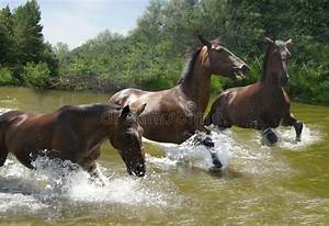 Herd Of Horses Galloping On The Water Stock Photo - Image ...