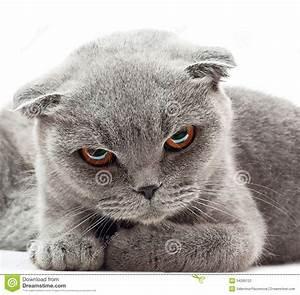 British Shorthair Cat Stock Photography - Image: 34289122