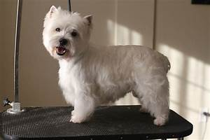 Haircut Styles For West Highland Terriers | the gallery ...