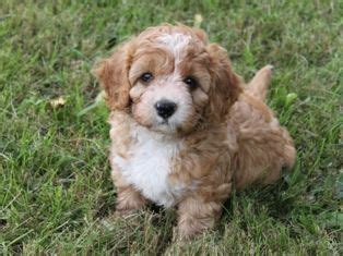 Dogs With Minimal Shedding by Cavapoo Minimal Shedding And Size