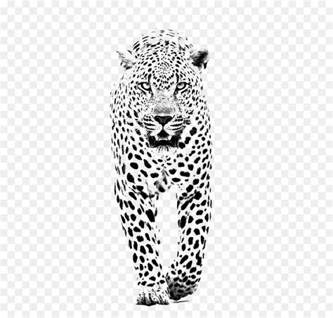 leopard jaguar lion tiger black panther black  white