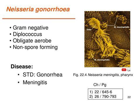 bacteria neisseria std cocci gram spore ppt powerpoint presentation gonorrhoea forming negative
