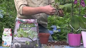 Rempoter Une Orchidee : comment rempoter vos orchid es youtube ~ Mglfilm.com Idées de Décoration