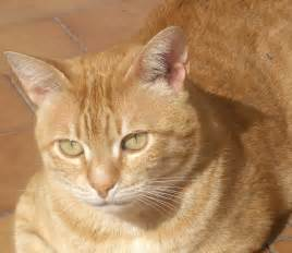 orange cats file orange tabby tony jpg