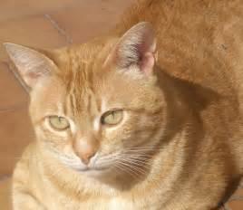 tabby cat orange file orange tabby tony jpg